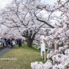 桜が満開のピークなので木次に行ってきました!その流れでキララ多岐や出雲大社へ